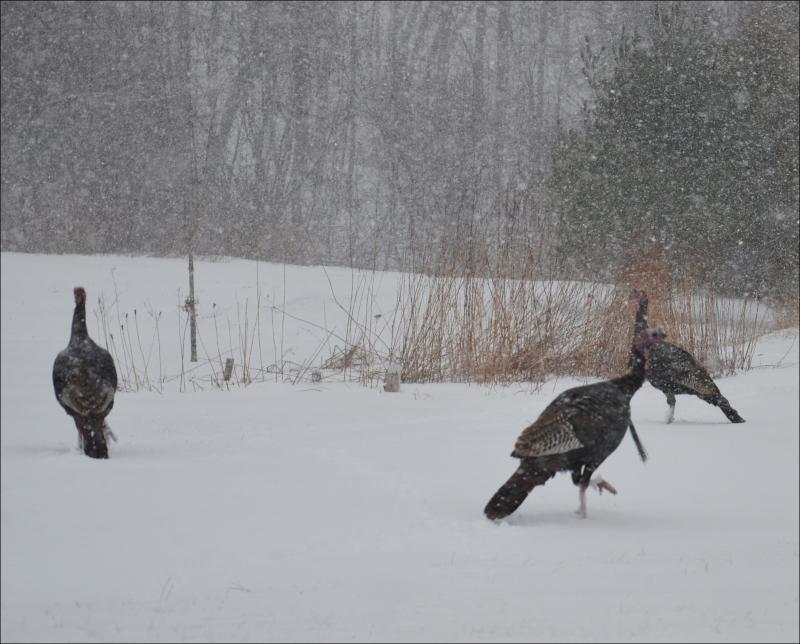 New skin virus afflicts maine turkeys penbay pilot for Maine fish wildlife
