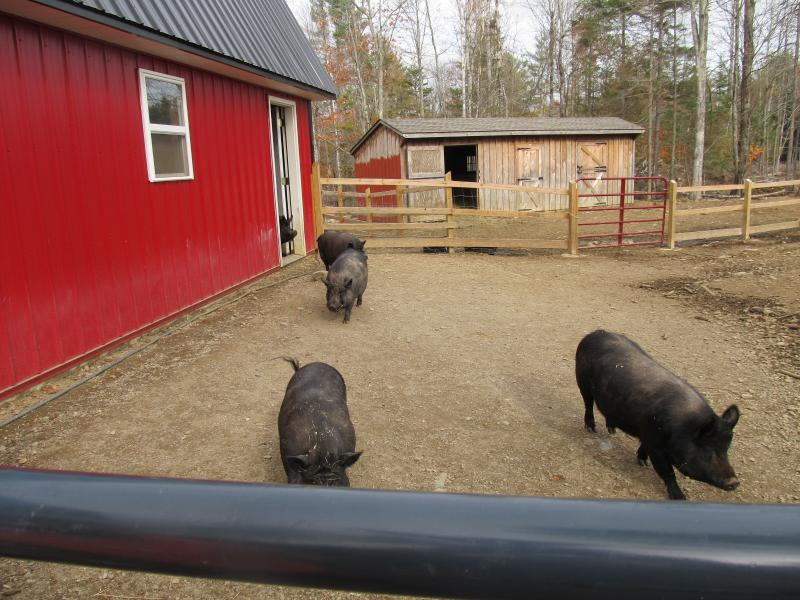 Pot Bellied Pigs Happily Scamper Outside The Pig Barn With Five Acres To Root Up Stumps And Dirt