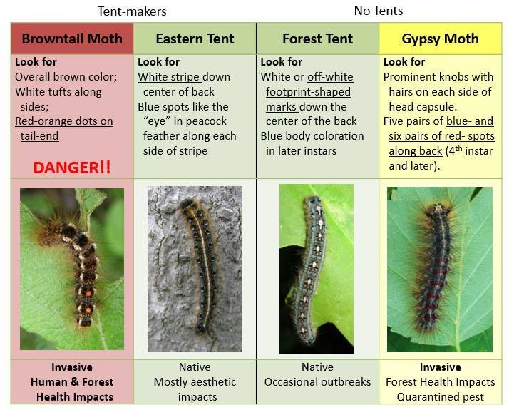 Influx Of Browntail Moths Leaves Midcoast Concerned And