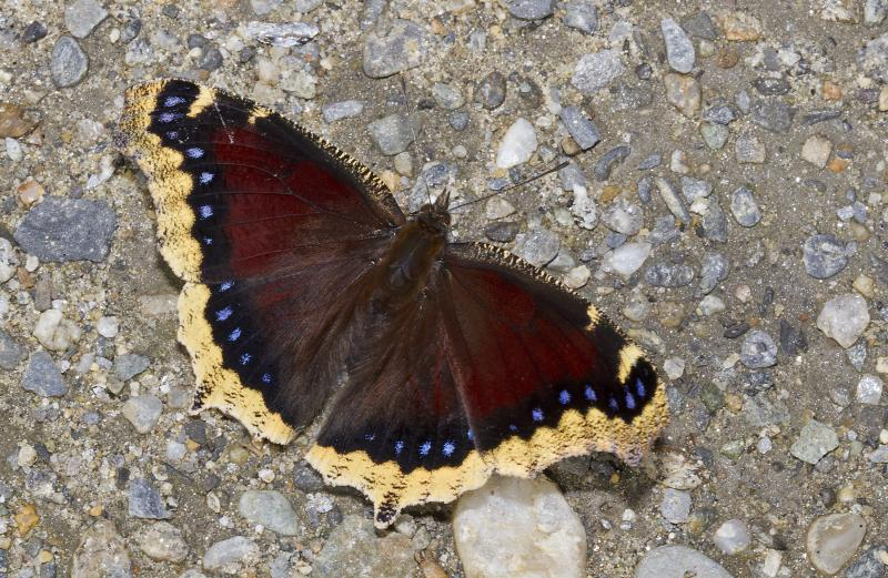 MourningCloak-BryanPfeiffer.jpg