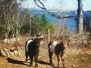 Aldermere Farm beltie calves