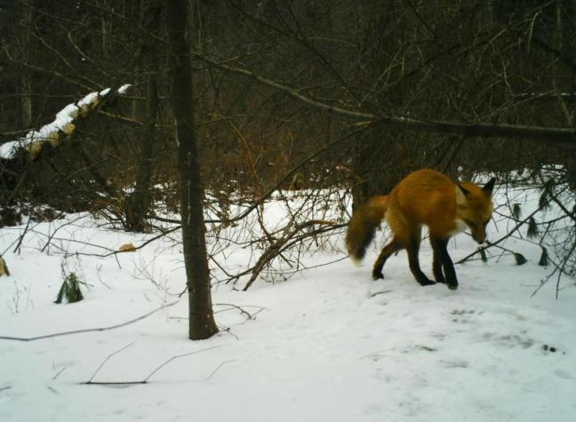 fox defecating