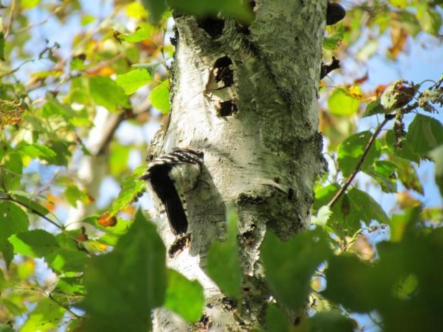 Downy Woodpecker, Jeff  Wells