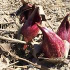 skun cabbage blooms